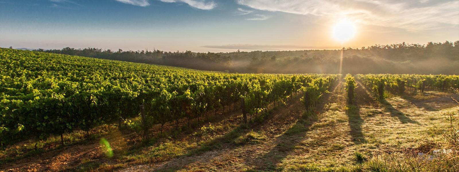 Grape field in Toscana :