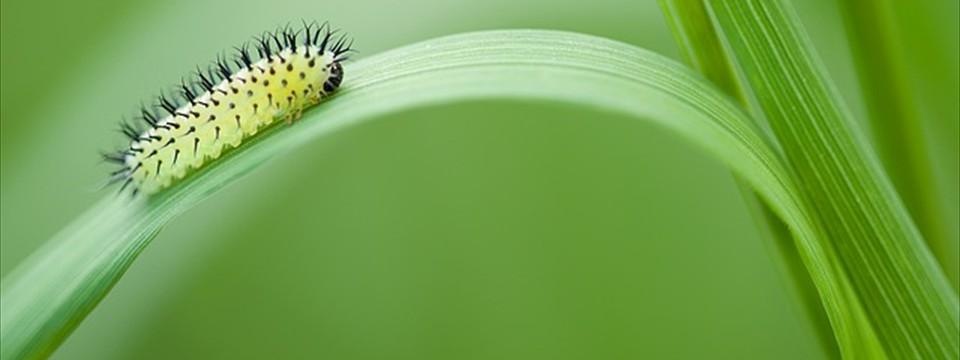 Oak sawfly
